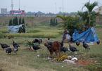 Vườn hoa giữa Hà Nội thành nơi chăn bò, thả gà