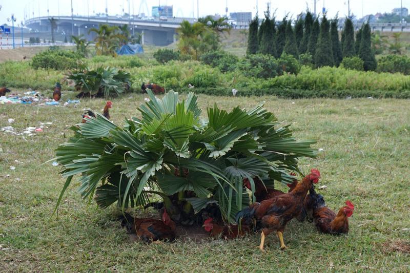 Vườn hoa, Thủ đô, Hà Nội, chăn bò, nuôi gà, cầu Nhật Tân, huyện Đông Anh, xã Vĩnh Ngọc
