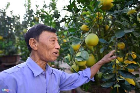 gốc bưởi 200 quả, Hà thành, bưởi 200 quả, bưởi phục vụ Tết Đinh Dậu, bưởi 200 quả có giá 30 triệu, bưởi Tết, chơi Tết, bưởi cảnh, lão nông Hà thành