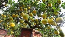Cây bưởi 200 quả, giá 40 triệu đồng ở Hà Nội