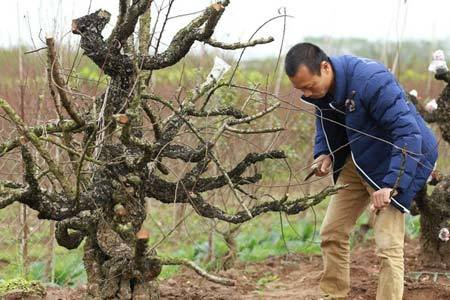 Ngắm gốc đào Nhật Tân mà đại gia chi 70 triệu mới chỉ được thuê