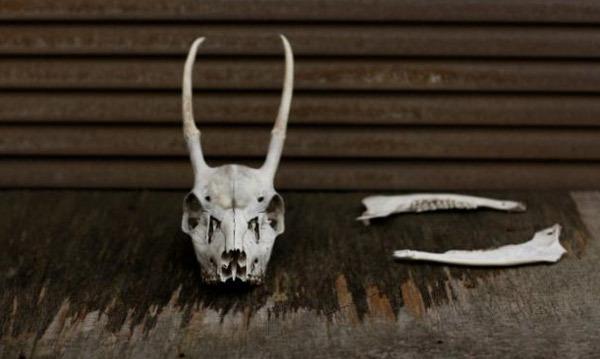 Lợn rừng: Việt Nam đặc sản, Nhật Bản giết bỏ vì quá nhiều