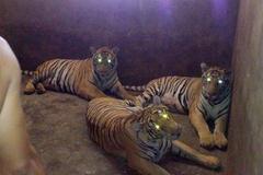 Hà Tĩnh: Thu giữ con hổ 160kg tại nhà dân