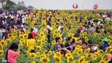 Hình ảnh không đẹp tại ngày khai hội hoa hướng dương