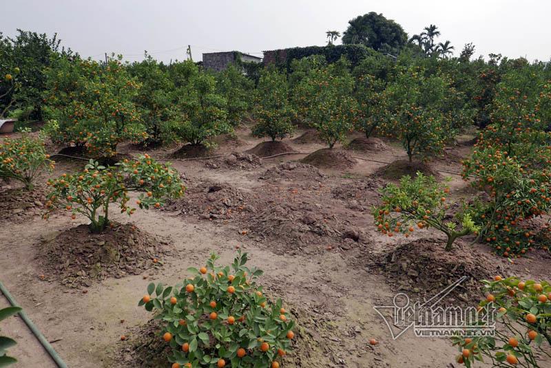Hà Nội: Quất Tết chết khô, chất đống bên đường