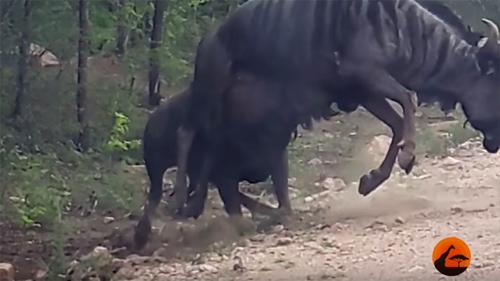 Trâu rừng thoát chết không tưởng vì bầy sư tử loạn 'hot' nhất 2016