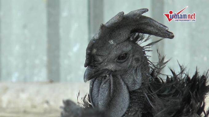 Bay 6 chuyến sang Indo mua 'gà mặt quỷ' đắt nhất thế giới