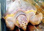 Rùa vàng 70kg cực hiếm mắc lưới ngư dân