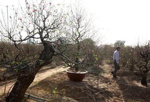 Đào lũa, cây đào cổ, vườn đào Nhật Tân, đào thế, đào phai, đào rừng, đào Tết, gốc đào, chơi Tết, cây cảnh