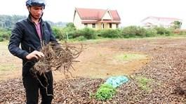 Đổ xô săn rễ 'na rừng' bán cho thương lái