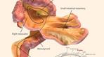 Phát hiện cơ quan mới trong cơ thể