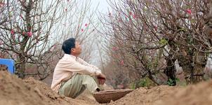 Đào Nhật Tân khoe sắc sớm, người trồng lo trắng tay