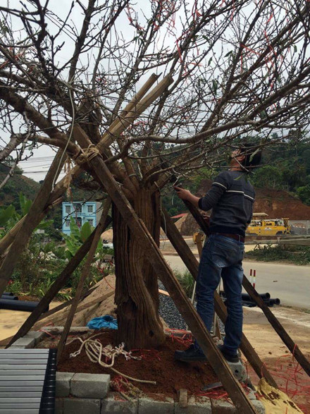 Cây đào rừng Sơn La gây sốt toàn dân chơi mấy ngày qua