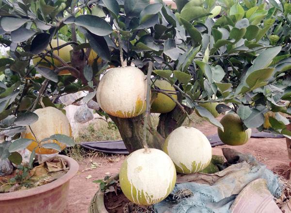 Cảnh lạ: Hàng ngàn quả bưởi đắp mặt nạ đợi Tết - ảnh 2