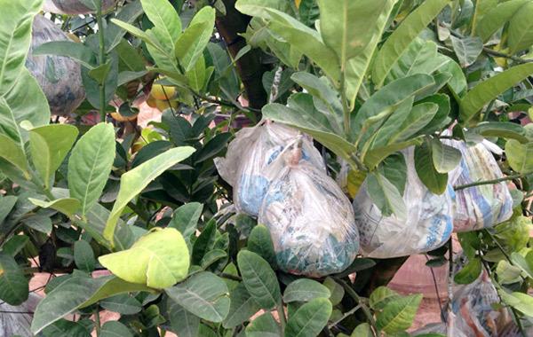 Cảnh lạ: Hàng ngàn quả bưởi đắp mặt nạ đợi Tết - ảnh 4