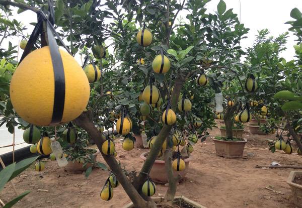 Cảnh lạ: Hàng ngàn quả bưởi đắp mặt nạ đợi Tết - ảnh 6