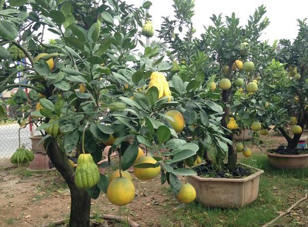 Cảnh lạ: Hàng ngàn quả bưởi đắp mặt nạ đợi Tết - ảnh 10