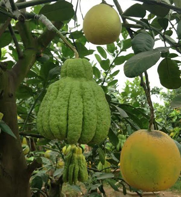 Cảnh lạ: Hàng ngàn quả bưởi đắp mặt nạ đợi Tết - ảnh 8