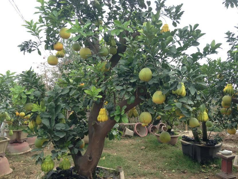 Cảnh lạ: Hàng ngàn quả bưởi đắp mặt nạ đợi Tết - ảnh 9