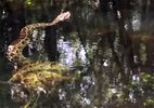 Cá sấu bị trăn khổng lồ siết chết thảm dưới đầm