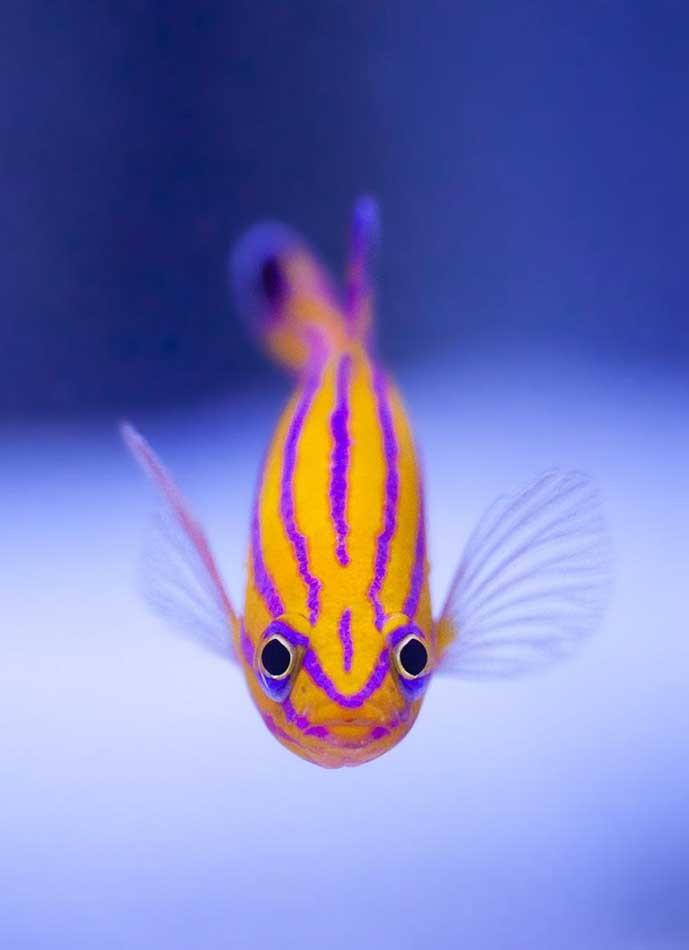 cá cảnh, giống cá đắt nhất,  siêu cá cảnh, cá cảnh tiền tỷ, cá cảnh triệu đô, thú chơi, dân chơi cá cảnh, cá rồng,
