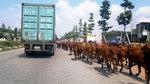 Trâu bò thả rông bị xe đâm gãy chân: Bên nào có lỗi?