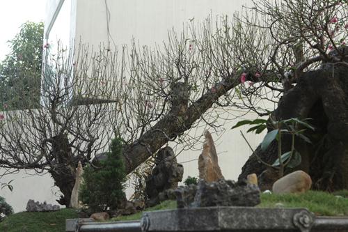 Hai gốc đào thế giá 100 triệu nhất chợ tết Hà Nội
