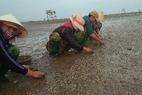 Ngao chết trắng liên quan chất xả thải ra biển