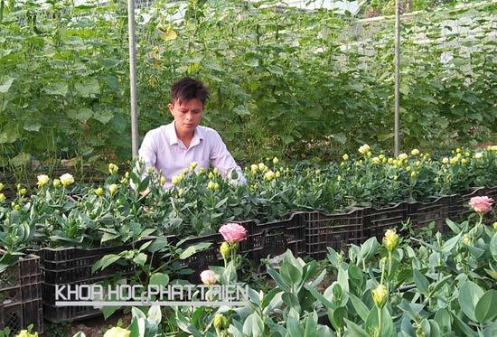 """""""triệu phú hoa tulip"""", kỹ sư, nông dân, trồng hoa, vườn hoa, hoa tết, chơi tết"""
