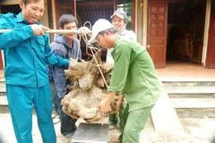 Đào được củ khoai vạc hình dạng kỳ lạ, nặng 73kg