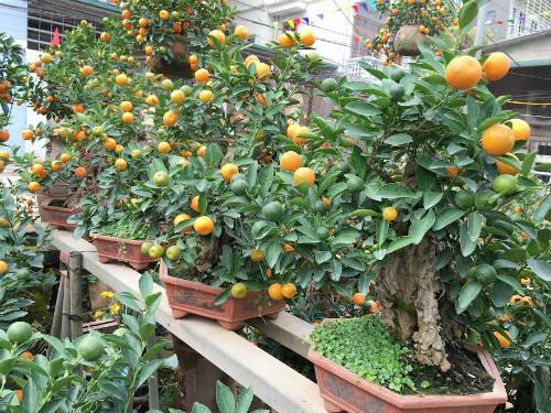 Quất bonsai thế gà gây sốt thị trường cây cảnh dịp Tết Nguyên đán - ảnh 1
