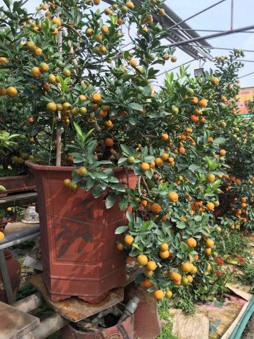 Quất bonsai thế gà gây sốt thị trường cây cảnh dịp Tết Nguyên đán - ảnh 10