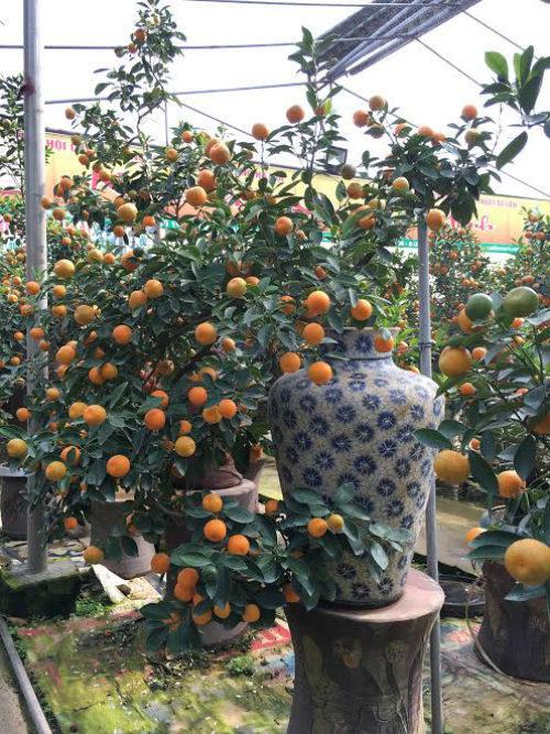 Quất bonsai thế gà gây sốt thị trường cây cảnh dịp Tết Nguyên đán - ảnh 11