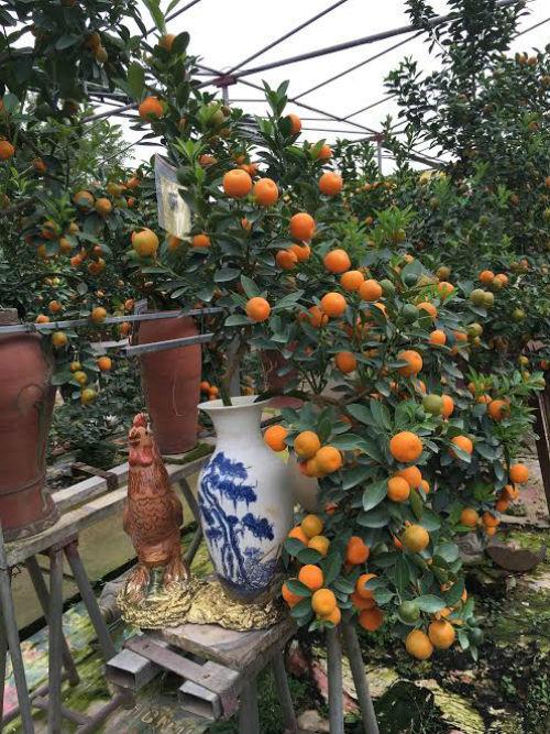 Quất bonsai thế gà gây sốt thị trường cây cảnh dịp Tết Nguyên đán - ảnh 12
