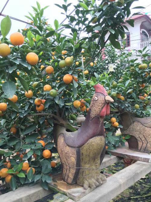 Quất bonsai thế gà gây sốt thị trường cây cảnh dịp Tết Nguyên đán - ảnh 2