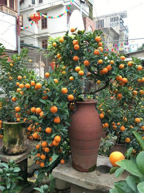 Quất bonsai thế gà gây sốt thị trường cây cảnh dịp Tết Nguyên đán - ảnh 3