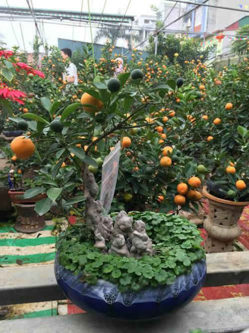 Quất bonsai thế gà gây sốt thị trường cây cảnh dịp Tết Nguyên đán - ảnh 4