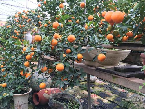 Quất bonsai thế gà gây sốt thị trường cây cảnh dịp Tết Nguyên đán - ảnh 5
