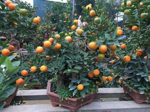 Quất bonsai thế gà gây sốt thị trường cây cảnh dịp Tết Nguyên đán - ảnh 7