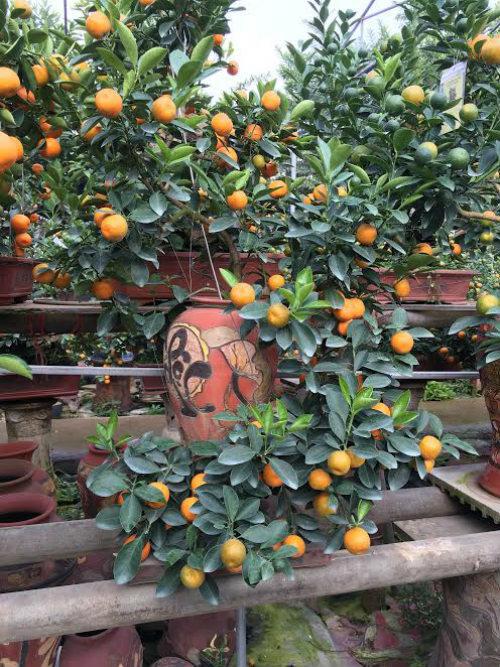 Quất bonsai thế gà gây sốt thị trường cây cảnh dịp Tết Nguyên đán - ảnh 8