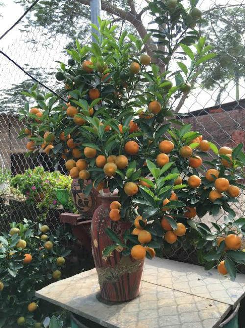 Quất bonsai thế gà gây sốt thị trường cây cảnh dịp Tết Nguyên đán - ảnh 9
