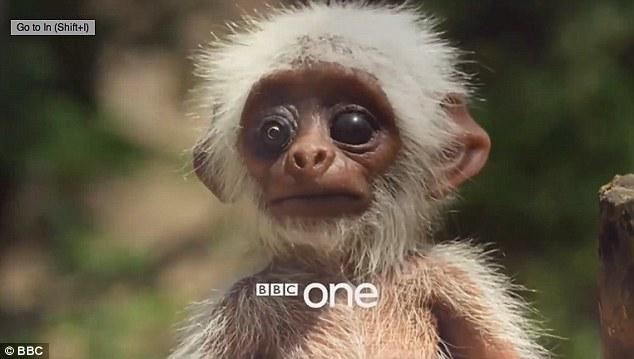 Lạ cảnh cả đàn khỉ khóc thương một con robot