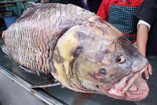 Chi 140 triệu, 'rước' cá hô khủng từ Campuchia về Hà Nội
