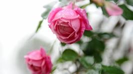 Hoa hồng Thái Lan, Sa Pa giá hàng chục triệu chơi Tết