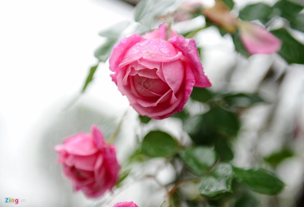 Hoa hồng Thái Lan, Sa Pa giá hàng chục triệu chơi Tết - ảnh 2