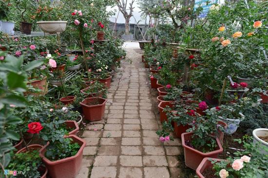 Hoa hồng Thái Lan, Sa Pa giá hàng chục triệu chơi Tết - ảnh 1