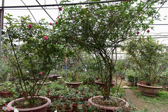 Hoa hồng Thái Lan, Sa Pa giá hàng chục triệu chơi Tết - ảnh 4