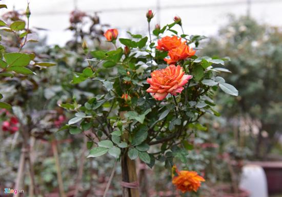Hoa hồng Thái Lan, Sa Pa giá hàng chục triệu chơi Tết - ảnh 8