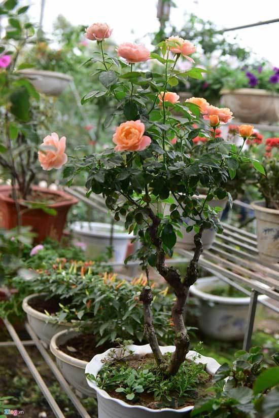 Hoa hồng Thái Lan, Sa Pa giá hàng chục triệu chơi Tết - ảnh 10