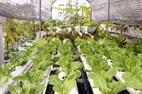 Ngỡ ngàng vườn rau sạch trăm triệu trên sân thượng ở TP.HCM